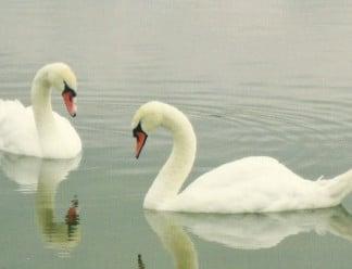 Munich-Royal-Residents-Swans