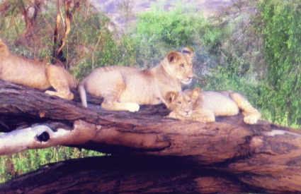 Lion cubs in Samburu Reserve, Kenya, East Africa