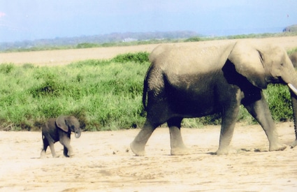 Elephants at Amboseli National Park, Kenya, East Africa