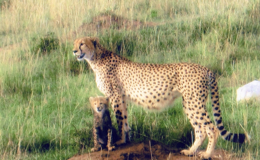 Cheetah in Masai Mara Park Reserve, Kenya, East Africa