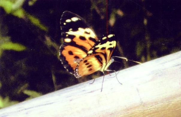 Butterfly on a railing in Iguazu Falls