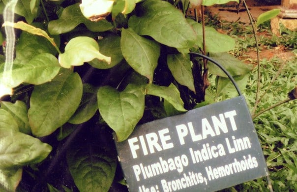 Fire Plant