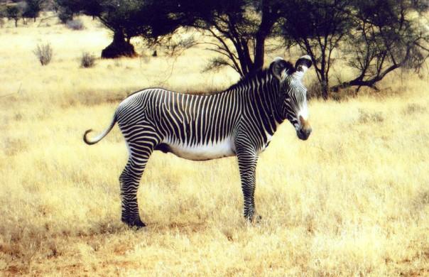 Gravy's Zebra - larger than common zebra