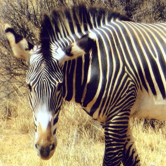 Grevy's-Zebra-in-Samburu-Reserve,-Kenya,-East-Africa