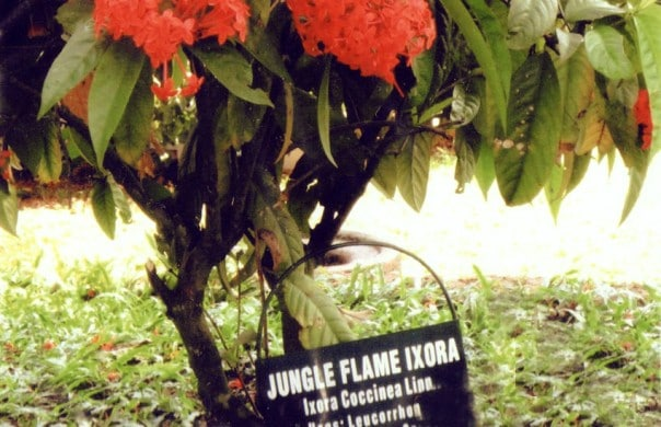 Jungle Flame Ixora
