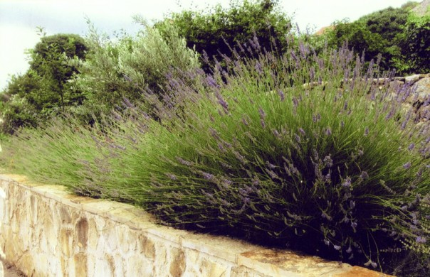 Lavender shrub on Hvar Island, Croatia