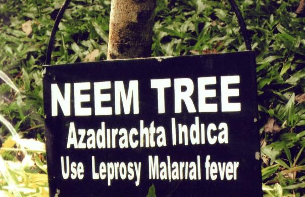 Neem Tree India