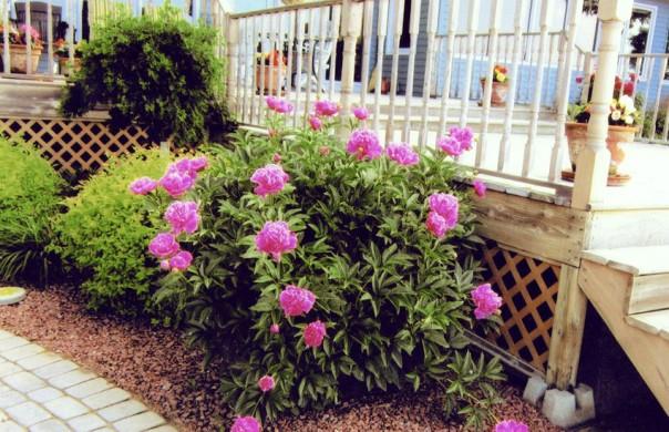Peonies in garden