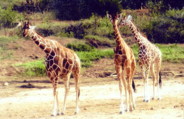 Reticulated Giraffes form Samburu, Kenya, Africa