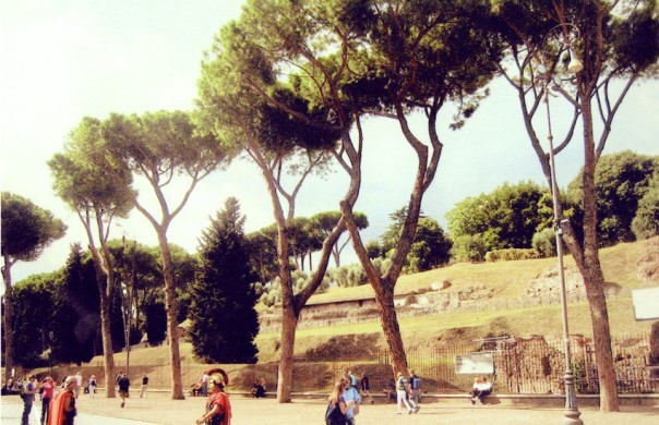 Umbrella Pines in Rome