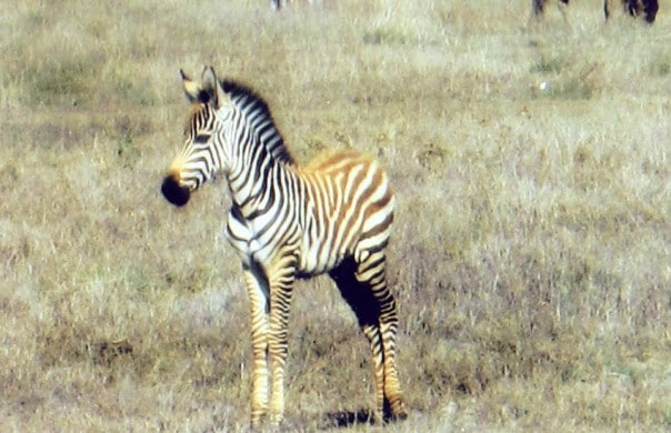 Young zebra in Ngorongoro Crater, Tanzania, East Africa