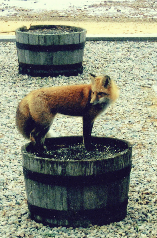 A fox standing in a flower bed