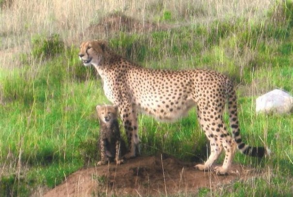Cheetah+and+Cub