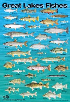 This chart identifies fish endemic to the Great Lakes in Ontario/Michigan, Canada/USA. It reminded me of this book and, if you look closely, you can find at least two different kinds of Salmon.