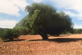 Argan Tree
